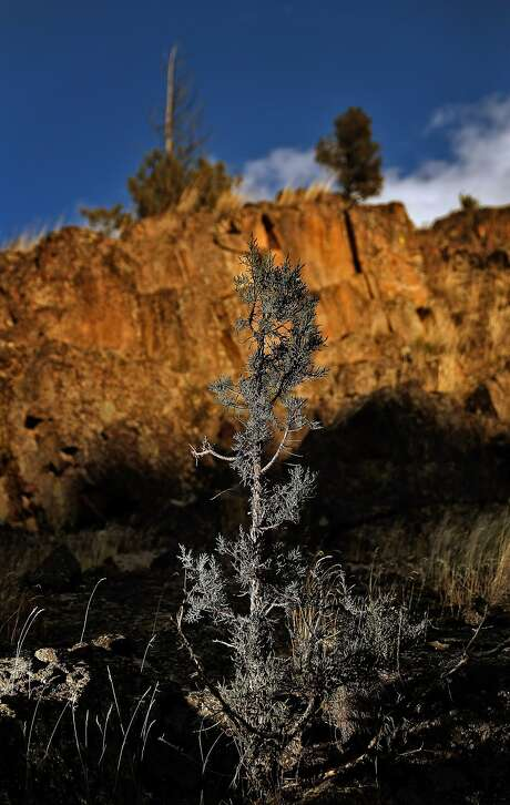 A western juniper tree in rocky soil is part of the varied ecology of the Horseshoe Ranch Wildlife Area and adjacent Cascade-Siskiyou National Monument near the California-Oregon border. The monument, expanded in the final year of the Obama administration, is being considered for a reduction in size and opening to timber, grazing and other private uses. Photo: Carlos Avila Gonzalez, The Chronicle