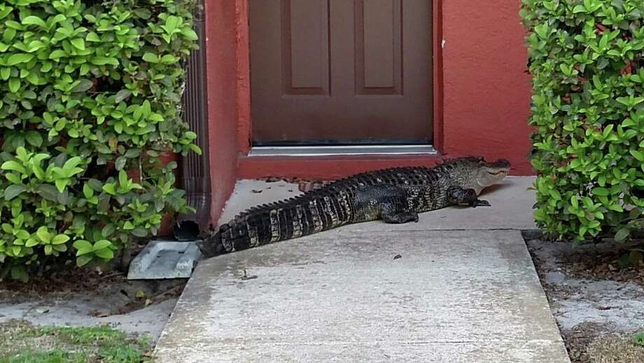 A Florida police department was called to an apartment complex Monday to remove a nine-foot-long alligator. Photo: Cocoa Police Department