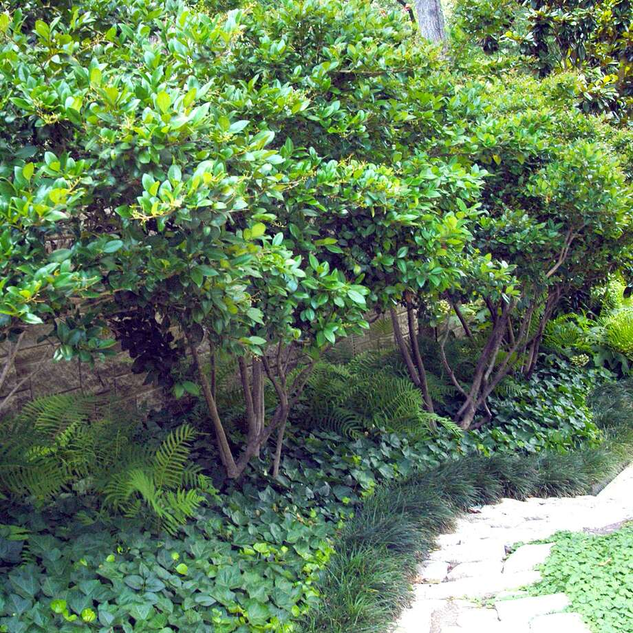 "The plant most of us call ""waxleaf ligustrum"" grows to 8 to 10 feet tall without pruning, and we often maintain it at 4 to 6 feet with regular shearing. It is started only from cuttings. Photo: Courtesy Photo"