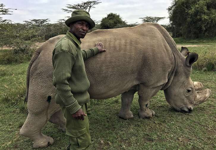 """FILE - In this Friday, July 28, 2017 file photo, wildlife ranger Zachariah Mutai takes care of Sudan, the world's last male northern white rhino, at the Ol Pejeta Conservancy in Laikipia county in Kenya. The health of 45-year-old Sudan is deteriorating and his minders said Thursday, March 1, 2018 that his """"future is not looking bright."""" (AP Photo/Joe Mwihia, File)"""
