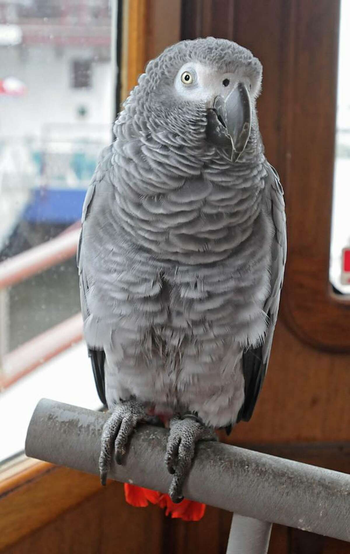 Augie the parrot will be aboard the Paladino tour boat, moored Wednesday at the Corning Preserve. (Lori Van Buren / Times Union)