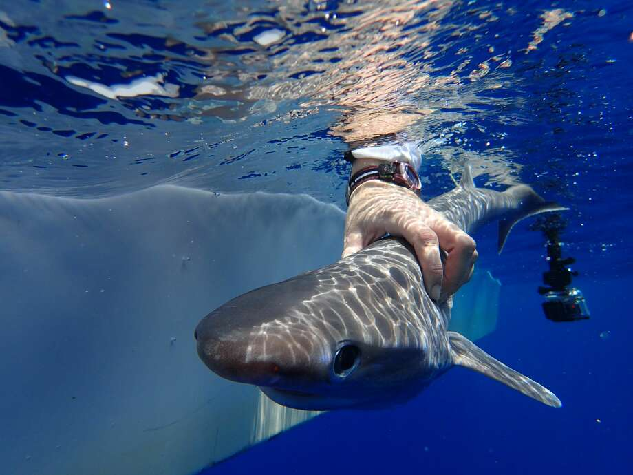 Scientists at Flordia Tech recently discovered the Atlantic sixgill shark, a 6-foot predator with an unusual set of six gills.See more photos of the Atlantic sixgill shark, as well as a list of sharks (mostly) friendly to humans. Photo: Ivy Baremore/MarAlliance