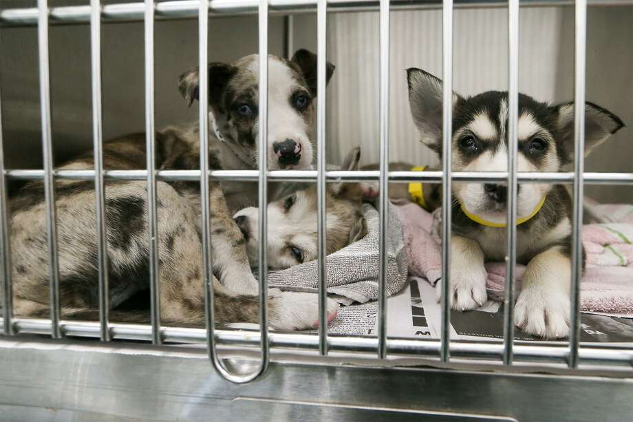 Three young Husky mix puppies, Erik (from left), Narnia and Alexia in the holding area at Brooks Spay/Neuter Clinic, 8034 City Base Landing. The facility, open since March 2017, provides low cost spay and neuter services for dogs and cats to the community. Photo: Marvin Pfeiffer /San Antonio Express-News / Express-News 2017