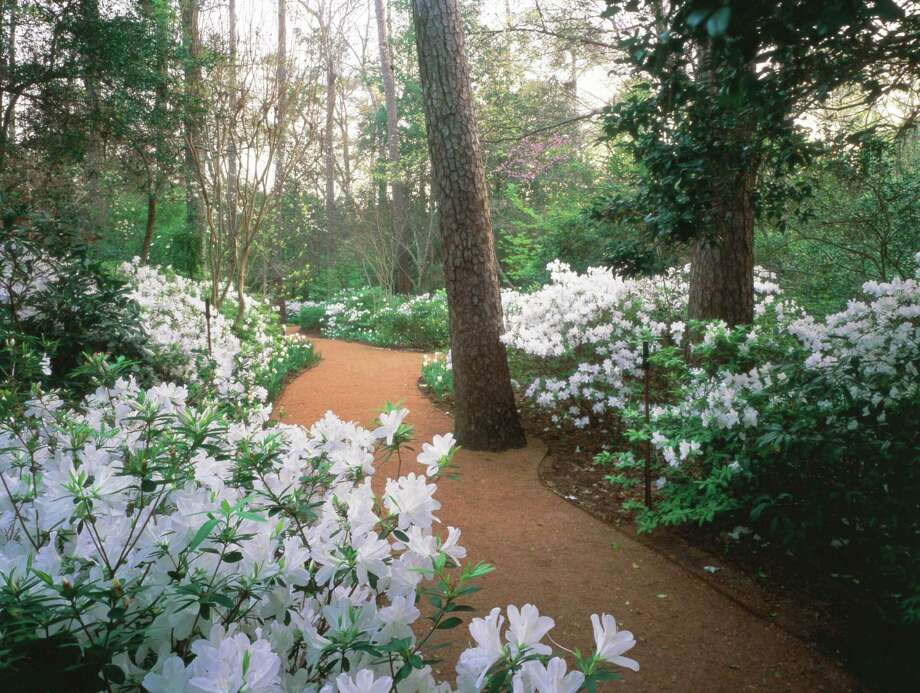 Bayou Bend's White Garden is a fairyland of white azaleas in March. Photo: Museum Of Fine Arts Houston / handout