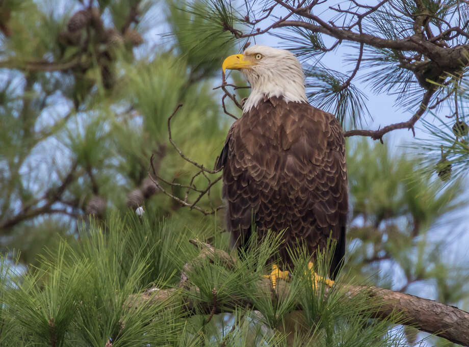 An adult bald eagle watches over its nest in The Woodlands. Photo: Kathy Adams Clark / Kathy Adams Clark
