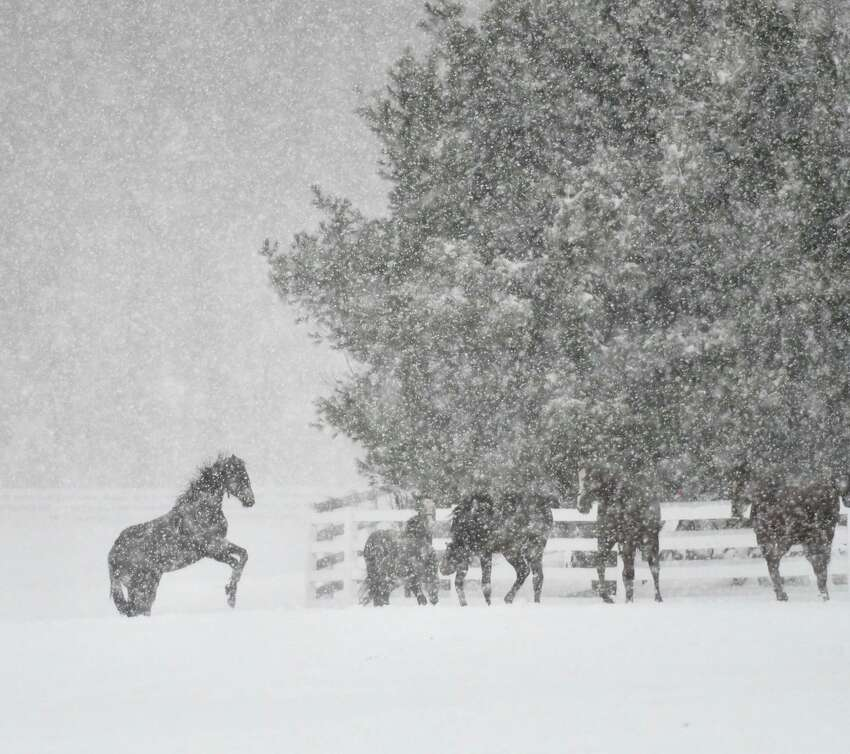 Yearlings at Song Hill Farm enjoy the snow on March 2, 2018, in Stillwater, N.Y. (Skip Dickstein/Times Union)