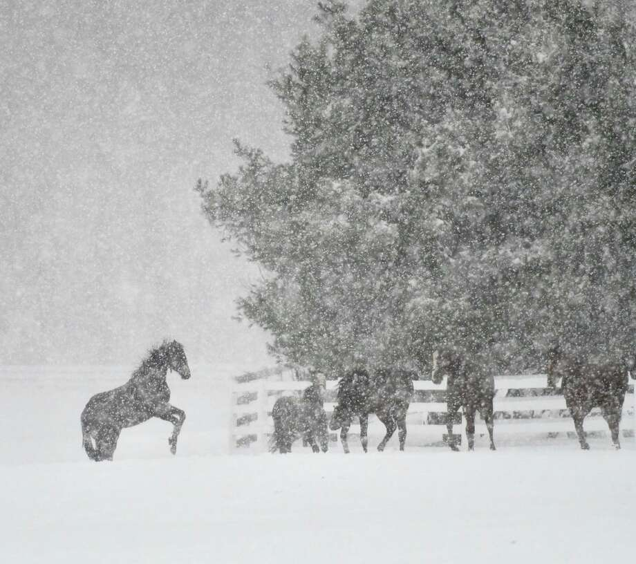 Yearlings at Song Hill Farm enjoy the snow on March 2, 2018, in Stillwater, N.Y. (Skip Dickstein/Times Union) Photo: Skip Dickstein/Times Union