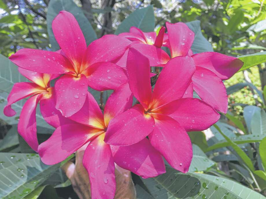 Plumeria can go outside when spring nights remain 50 degrees or warmer. Photo: Judith Hoffing