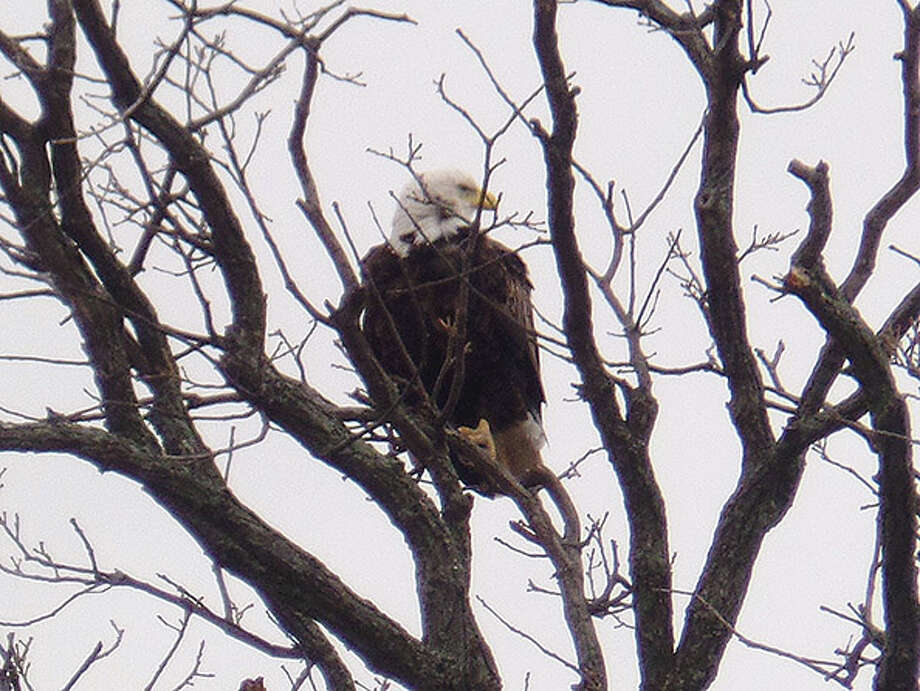 p.p1 {margin: 0.0px 0.0px 0.0px 0.0px; font: 12.0px Helvetica}Thursday's return to winter didn't faze this eagle perched in a tree top in rural Unionville. With a body temperature of about 106 degrees Fahrenheit, they need to use other cooling methods like perching in the shade, panting, and holding their wings away from their body. (Mary Drier/For the Tribune) Photo: Mary Drier/For The Tribune / Copyright 2012