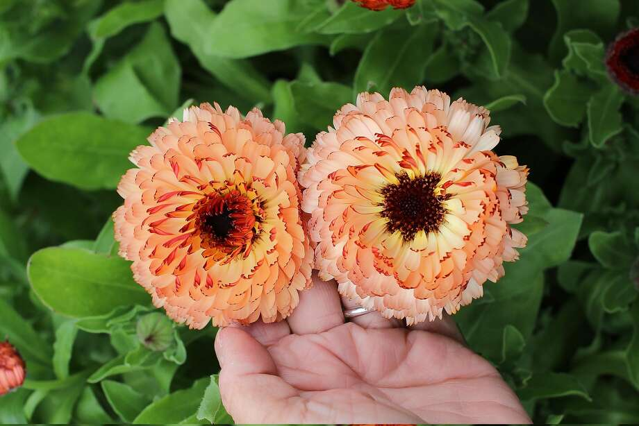 Calendula officinalis 'Bronzed Beauty' adds two-tone color to the winter garden. Photo: Courtesy Annie�s Annuals & Perennials