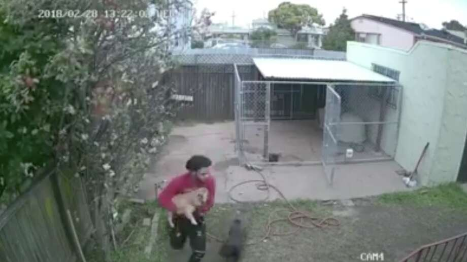 Police are trying to identify a man who stole a French Bulldog from a Richmond family's home. Photo: Richmond Police Department