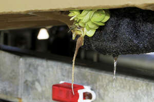 A Texas law aimed at slowing spread ofinvasiveaquaticspeciesrequires boaters to remove and destroy any prohibited plants - such as this clump of giant salvinia trapped between a boat hull and trailer bunk - from their boat or trailer or face a fine of as much as $500.