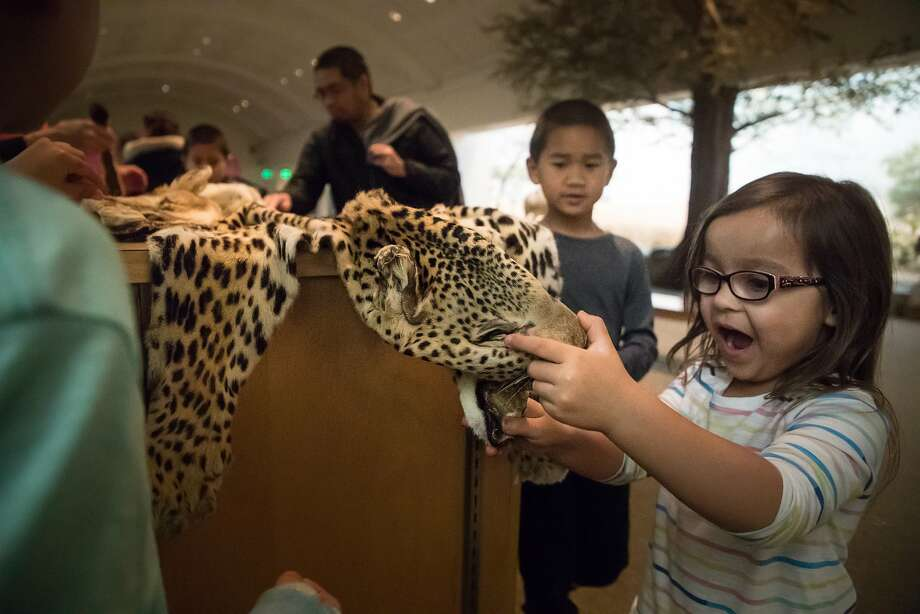 Lourdes Scott-Smith, 4, feels a leopard skin confiscated at San Francisco International Airport during family night at the California Academy of Sciences in San Francisco. Photo: Paul Kuroda, Special To The Chronicle