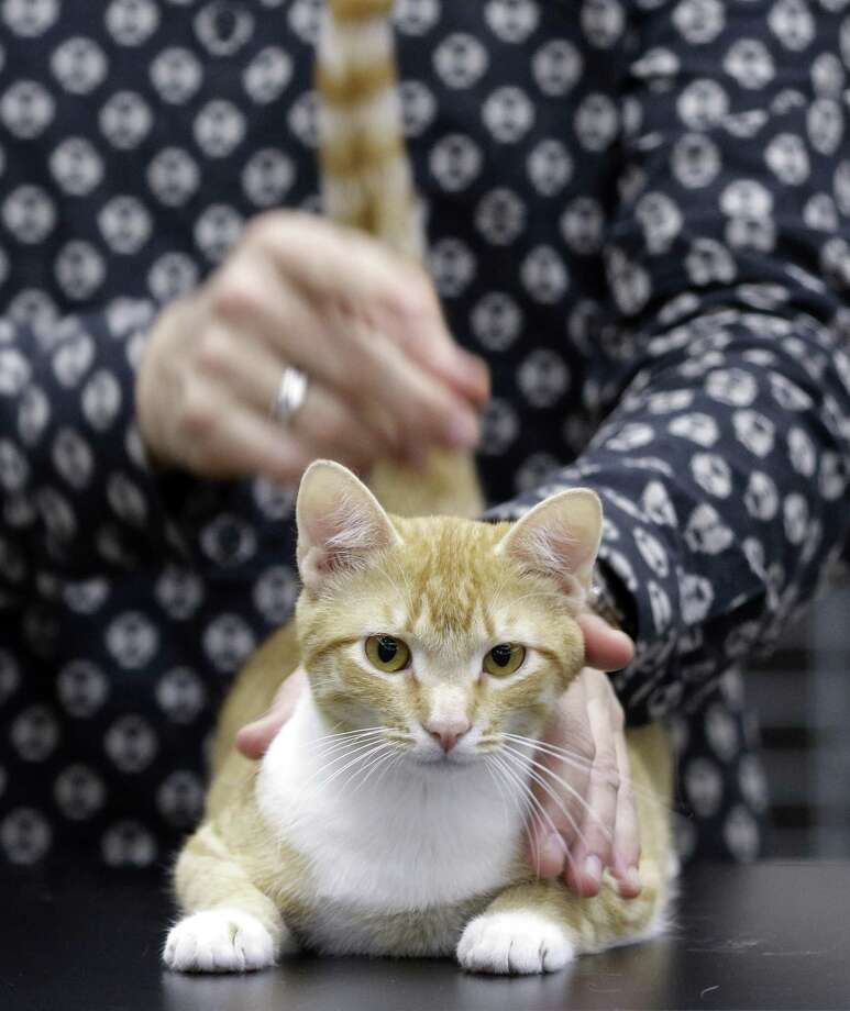 Specialty judge Steven Meserve pets a cat as it's judged on the table at the Evangeline County Cat Fanciers Cat Show held at the North Houston Marriott in Houston Saturday, Mar. 3, 2018 in Houston, TX. (Michael Wyke / For the  Chronicle) Photo: Michael Wyke, Freelance / For The Chronicle / © 2018 Houston Chronicle