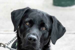 Guiding Eyes for the Blind candidate Twain a black lab Monday Feb. 19, 2018 in Rensselaer, N.Y.   (Skip Dickstein/Times Union)