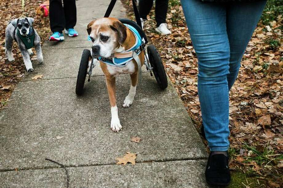 Luna the dog enjoys her walk with her special harness that helps her rear legs. (Katy Kildee/kkildee@mdn.net)