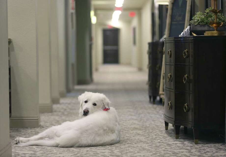 Doc, a Great Pyrenees dog that helps provide companionship to residents in a San Antonio-area Franklin Park Memory Care facility, keeps watch Wednesday, Feb. 21, 2018 in a hallway for someone to pet him. Three San Antonio-area Franklin Park facilities use rescued Great Pyrenees dogs to improve the quality of life for their facilities' residents. Photo: William Luther, Staff / San Antonio Express-News / © 2018 San Antonio Express-News