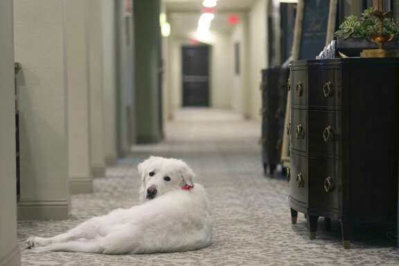 Doc, a Great Pyrenees dog that helps provide companionship to residents in a San Antonio-area Franklin Park Memory Care facility, keeps watch Wednesday, Feb. 21, 2018 in a hallway for someone to pet him. Three San Antonio-area Franklin Park facilities use rescued Great Pyrenees dogs to improve the quality of life for their facilities' residents.