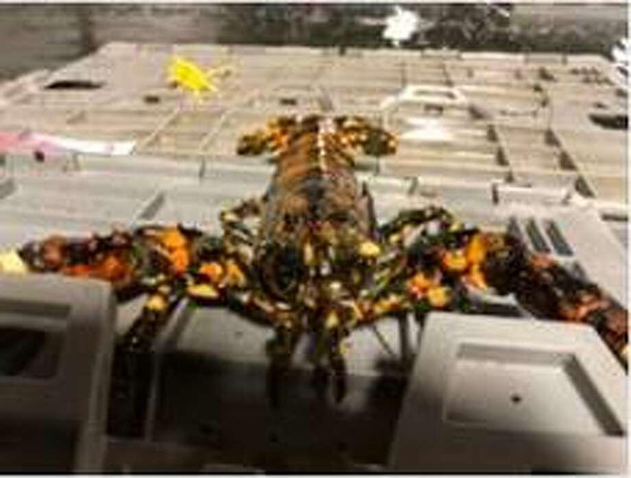 A calico lobster - a crustacean whose rare coloring makes it a 1-in-30-million find - was discovered at the Market 32 in East Greenbush. It is being donated to the Viaport aquarium in Rotterdam. Photo: Golub Corp.