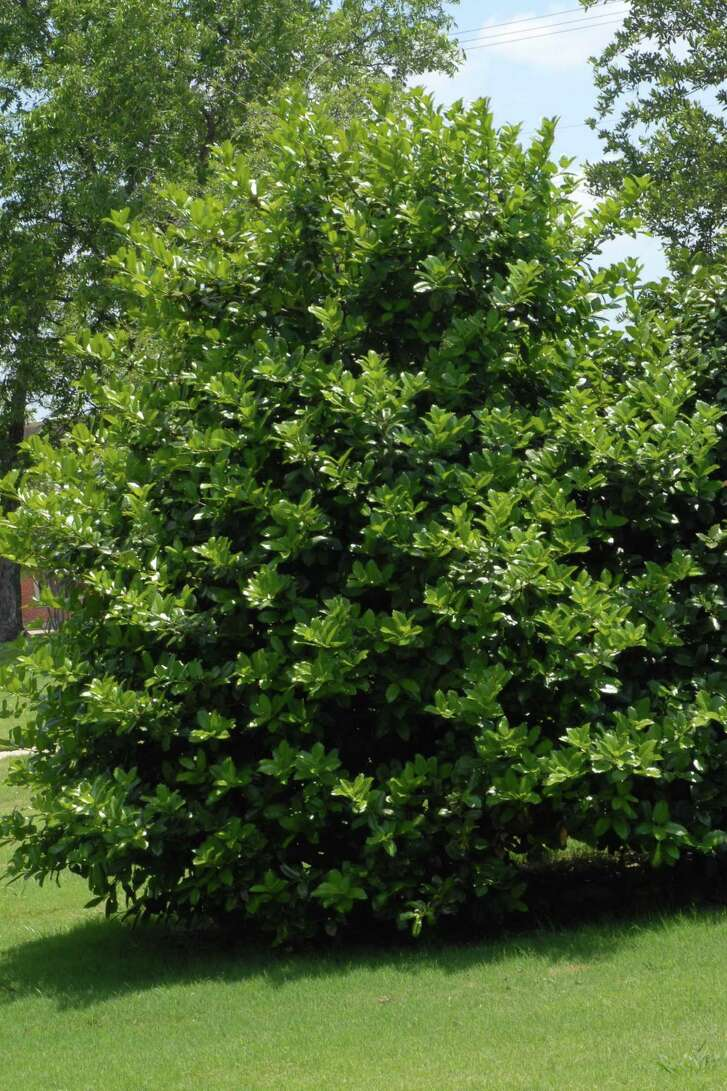Among all the hollies, there's a symmetry and elegance to Oakland holly that sets it apart.