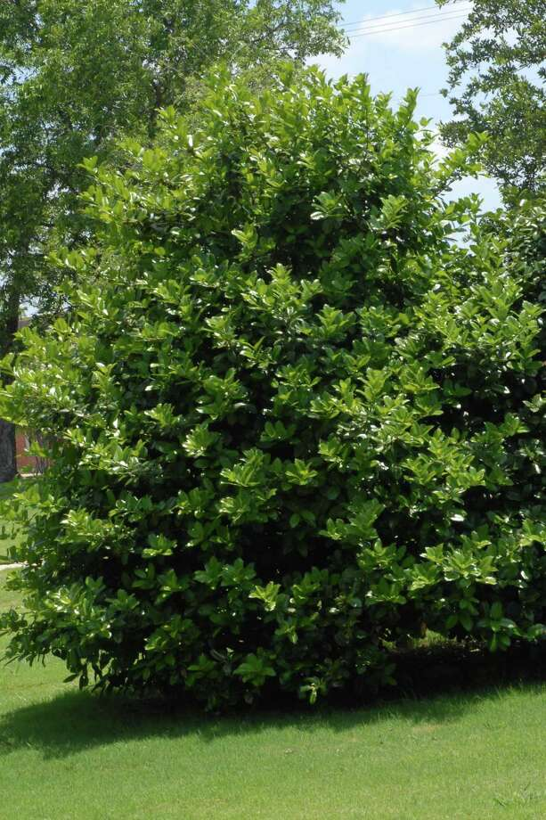 Among all the hollies, there's a symmetry and elegance to Oakland holly that sets it apart. Photo: Courtesy Photo