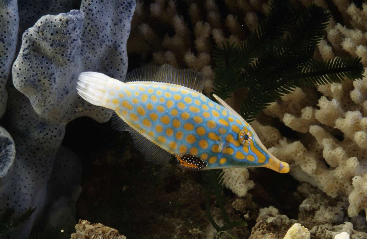 Orange-spotted filefish Found in: Indo-Pacific Oceans Source: National Geographic