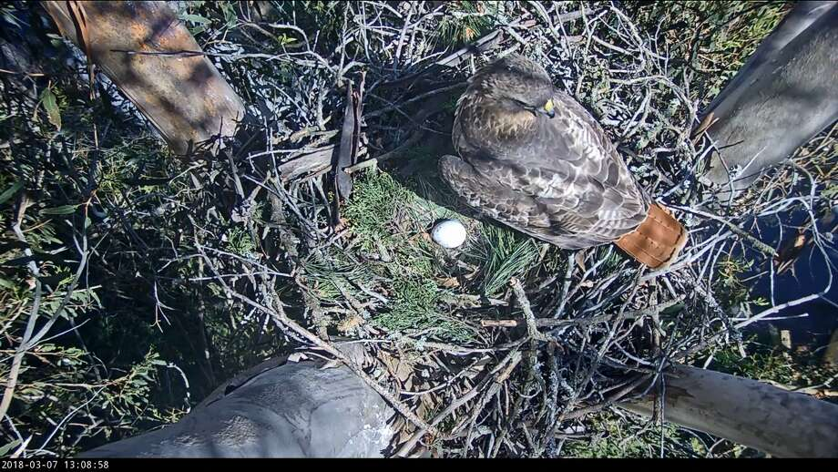 A red-tailed hawk laid an egg in a nest in the San Francisco's Presidio on March 5, 2018. The event was captured on a live webcam. Photo: Presidio Trust