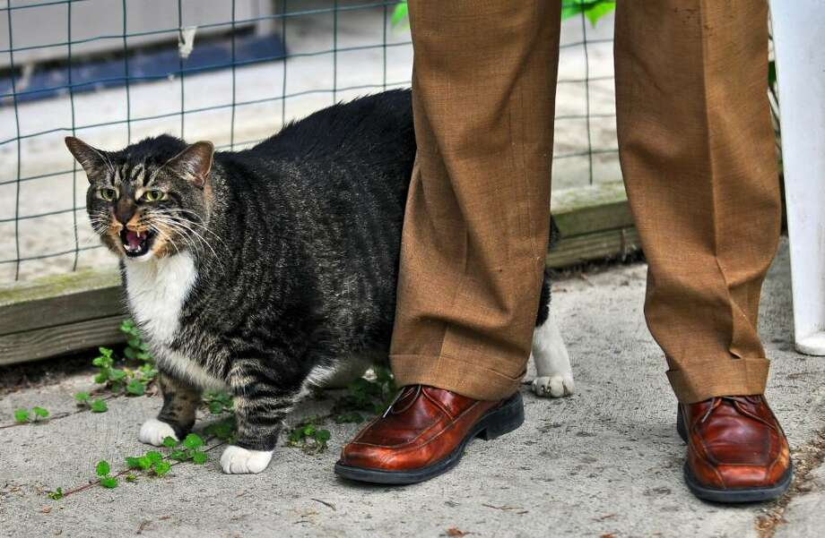 A a diet is in the future of this 36-pound stray cat, which will be put up  for adoption on Thursday, June 10, 2010, at the Mohawk & Hudson River Humane Society. ( Philip Kamrass / Times Union) Photo: PHILIP KAMRASS