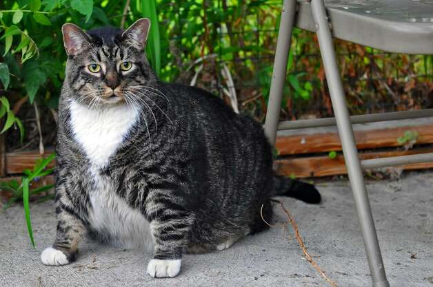 At 36 pounds, this is a top cat up for adoption today at the Mohawk & Hudson River Humane Society in Menands. ( Philip Kamrass / Times Union) Photo: PHILIP KAMRASS