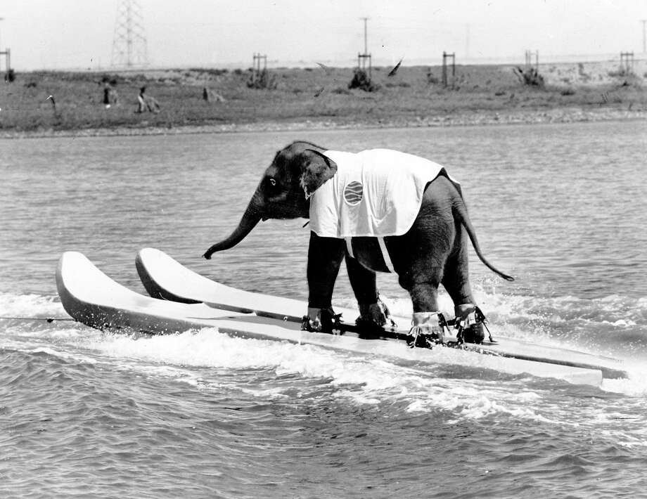 An elephant water skis at Marine World Africa U.S.A. circa Nov. 30, 1969. Photo: Courtesy Marine World Africa U.S