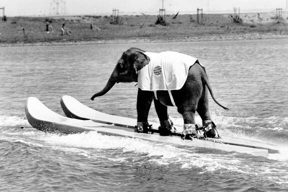 An elephant water skis at Marine World Africa U.S.A. circa Nov. 30, 1969.