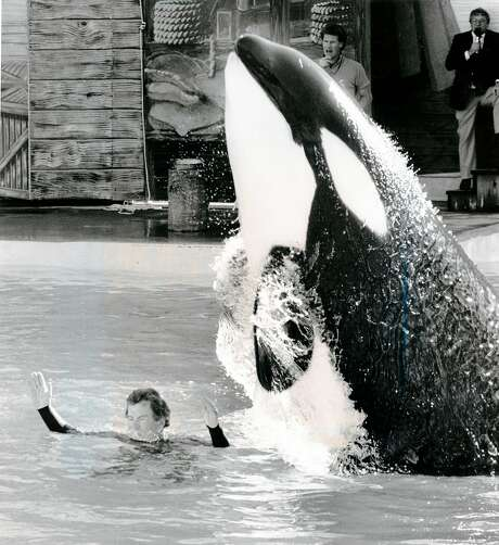 A killer whale jumps over William Shatner at Marine World Africa U.S.A. March 16, 1987. Photo: Jerry Telfer, The Chronicle