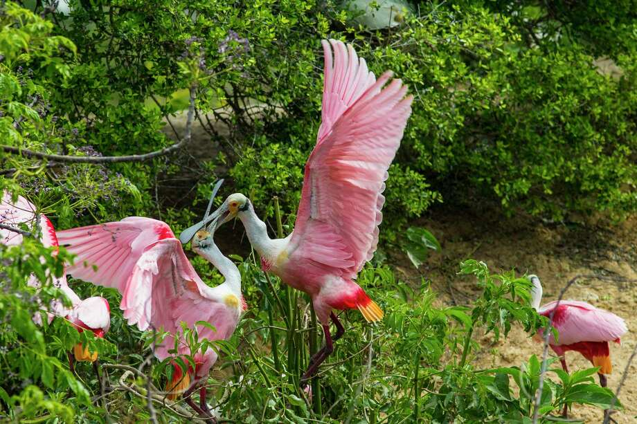 Watch the activities of roseate spoonbills and other birds at the Houston Audubon High Island rookery this spring.  Photo Credit: Kathy Adams Clark.  Restricted use. Photo: Kathy Adams Clark / Kathy Adams Clark/KAC Productions