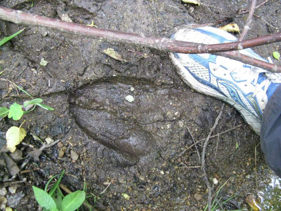 A moose print discovered along the Klondike Trail in the Adirondack Mountains. (Gillian Scott / Special to the Times Union)