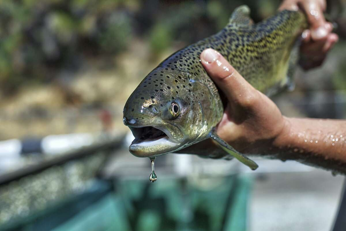 A U.S. Fish and Wildlife Service biologist holds a winter-run Chinook salmon. Some 200,000 endangered winter-run juvenile Chinook salmon are being released into the North Fork of Battle Creek, a tributary of the Sacramento River.