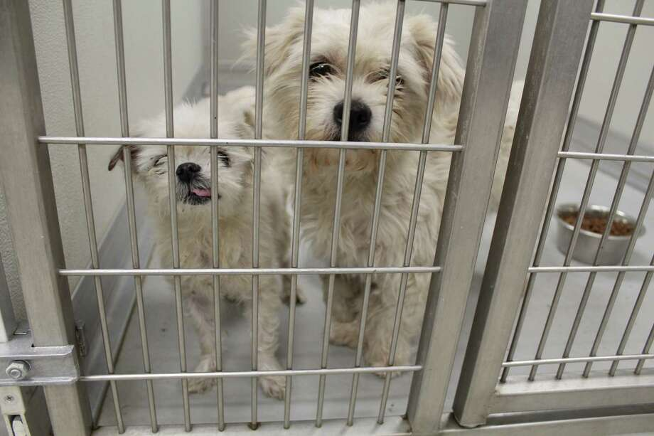 The City of Humble Animal Shelter has been at capacity for dogs since Nov. 2017. They are hosting a microchip event at the Humble Civic Center on March 17, offering $10 microchips for dogs and cats. The City of Humble Animal Shelter has not put these two canine pals up for adoption yet, as of Dec. 1, 2017. Photo: Melanie Feuk