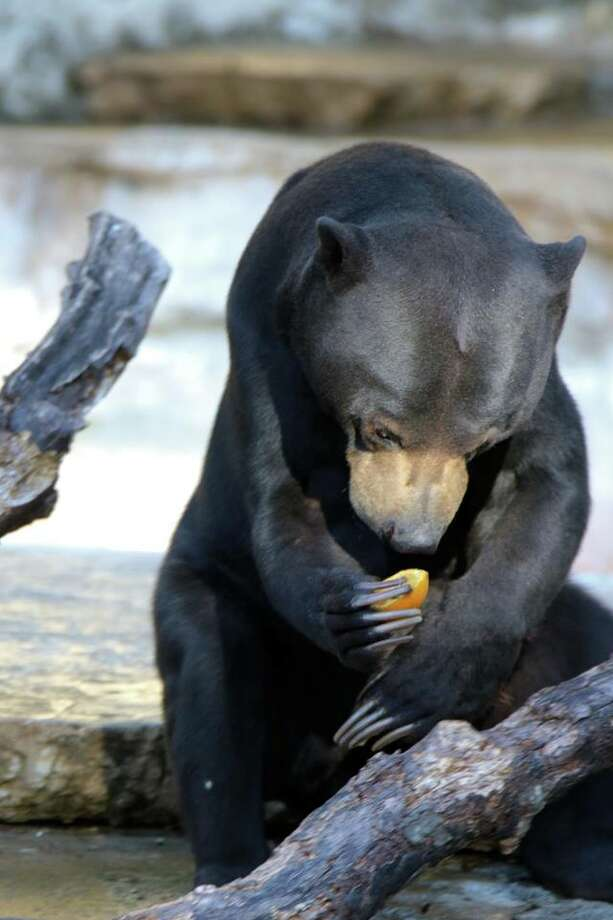 Baubles, a 14-year-old Malayan sun bear, passed away at the San Antonio Zoo March 7, 2018 after a battle with heart disease. Photo: Shannon Pullin/San Antonio Zoo