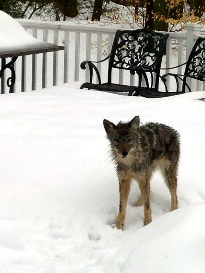 A resident of Dogwood Court in Stamford, Conn. snapped photos of her dog being chased by a coyote just before it ran into the house, and of the coyote on the other side of a sliding glass door immediately after. Stamford police provided the photo to the news media Monday, March 9, 2015. Photo: Contributed Photo / Stamford Police Dept. / Stamford Advocate  contributed