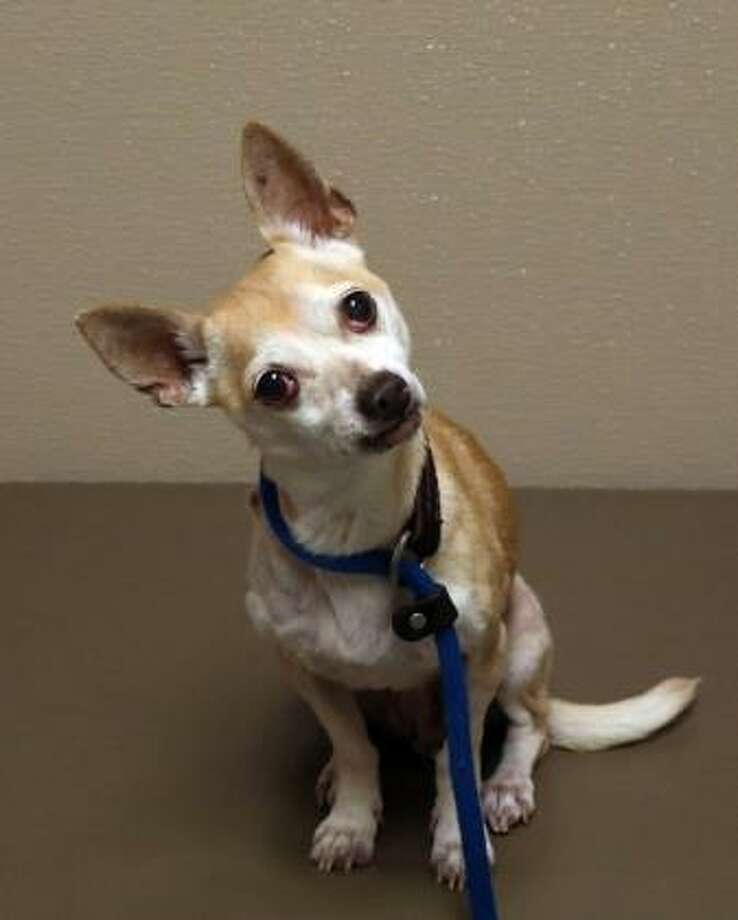 Penny is a 7-year-old short-coat Chihuahua mix who can live in any size home, including apartments. Penny would like to live with adults. She would like to live with a dog, but she has not had much experience with cats, but she may be willing to share her home with a feline. This little lady is calm, but she does have her moments of energy and needs to get some exercise every day. Penny's behavior is very typical for her breed, so she needs to live with someone who has Chihuahua experience. She does have some special needs, but Penny has lots of lifeto live and love to give. Please ask the adoption counselor to explain when you visit with me in Newington. Inquiries for adoption should be made at the Connecticut Humane Society located at 701 Russell Road in Newington or call toll free: 1-800-452-0114. Photo: Contributed Photo