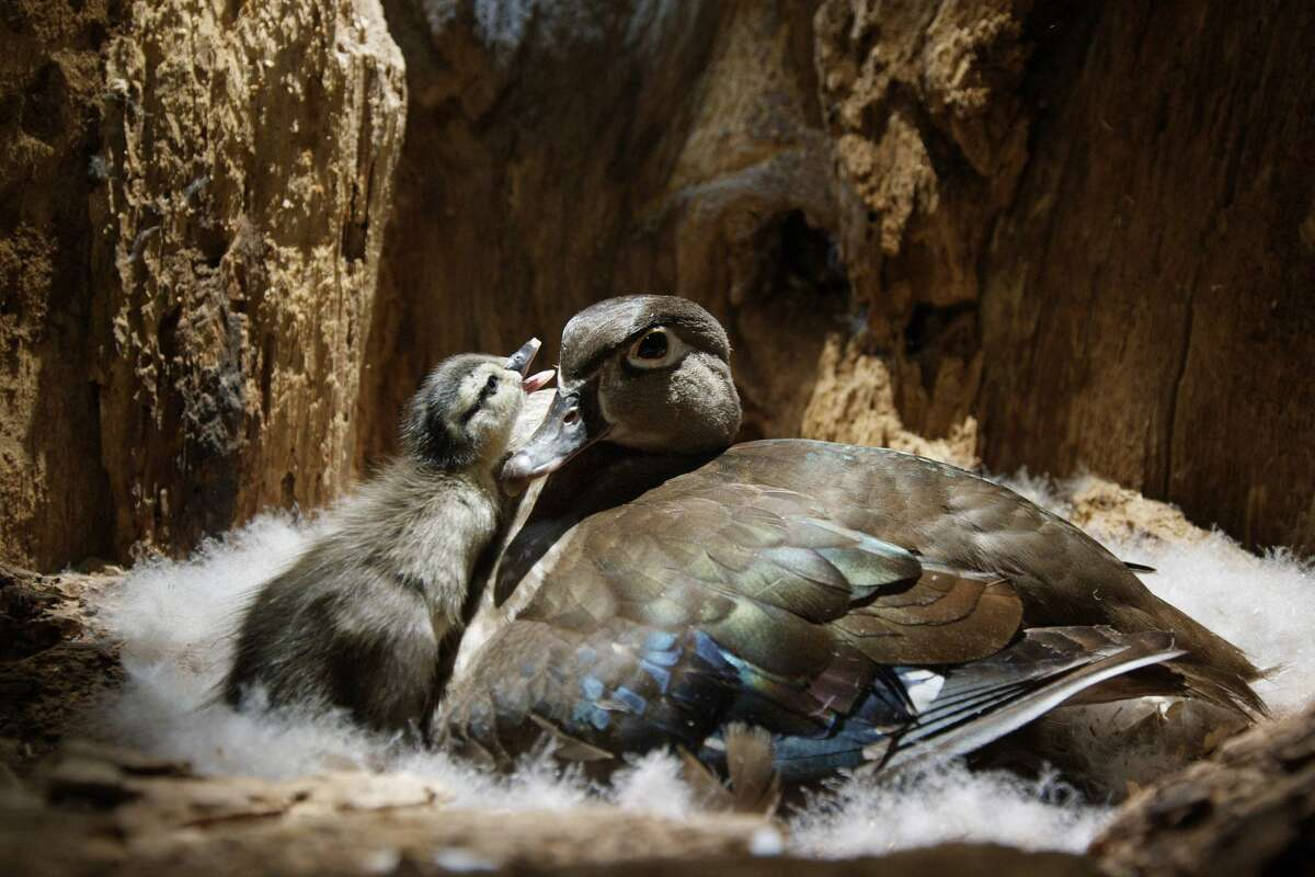 A wood duck and her duckling are seen in
