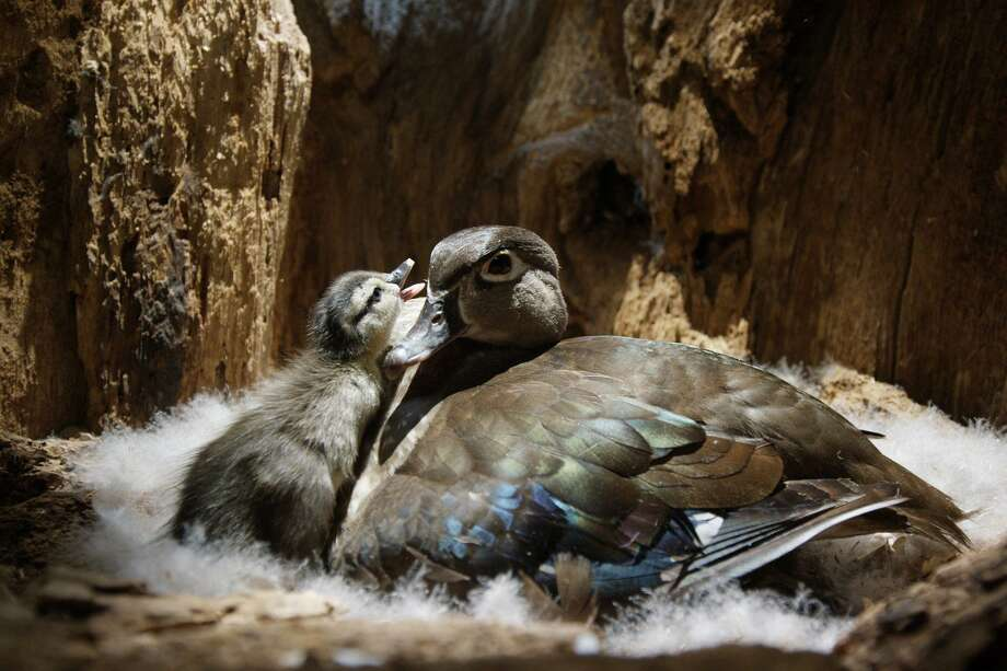"A wood duck and her duckling are seen in ""Backyard Wilderness,"" a new IMAX/Giant Screen Film opening at the IMAX theater at The Maritime Aquarium at Norwalk on March 24. Photo: Arise Media / SK Films / Contributed Photo"