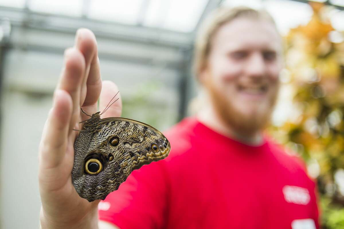An owl butterfly rests on an employee's hand inside Dow Gardens' butterfly house on Thursday, March 8, 2018. (Katy Kildee/kkildee@mdn.net)