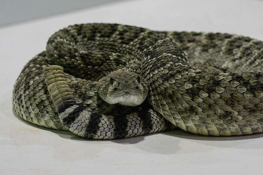 A rattlesnake waits before its venom is milked in Texas. Can you identify venomous Texas snakes? Click through to test your knowledge. Photo: Charlie Blalock / Special To The Express News /
