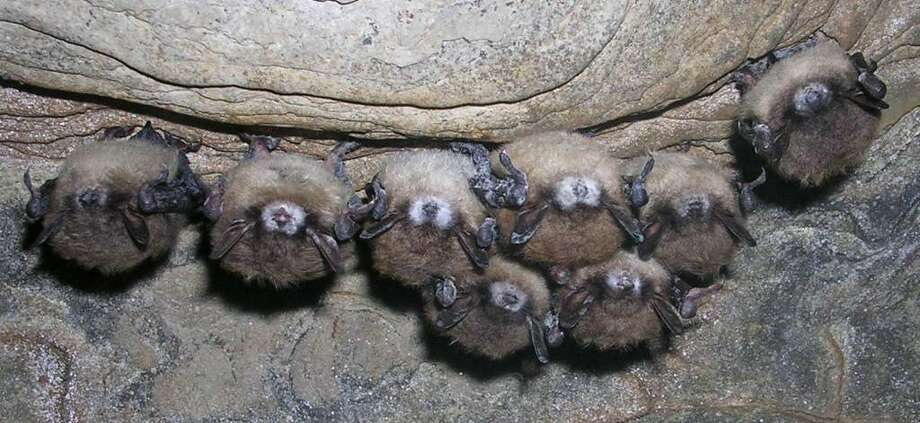 Sick bats White Nose Syndrom. (Courtesy NYS DEC)