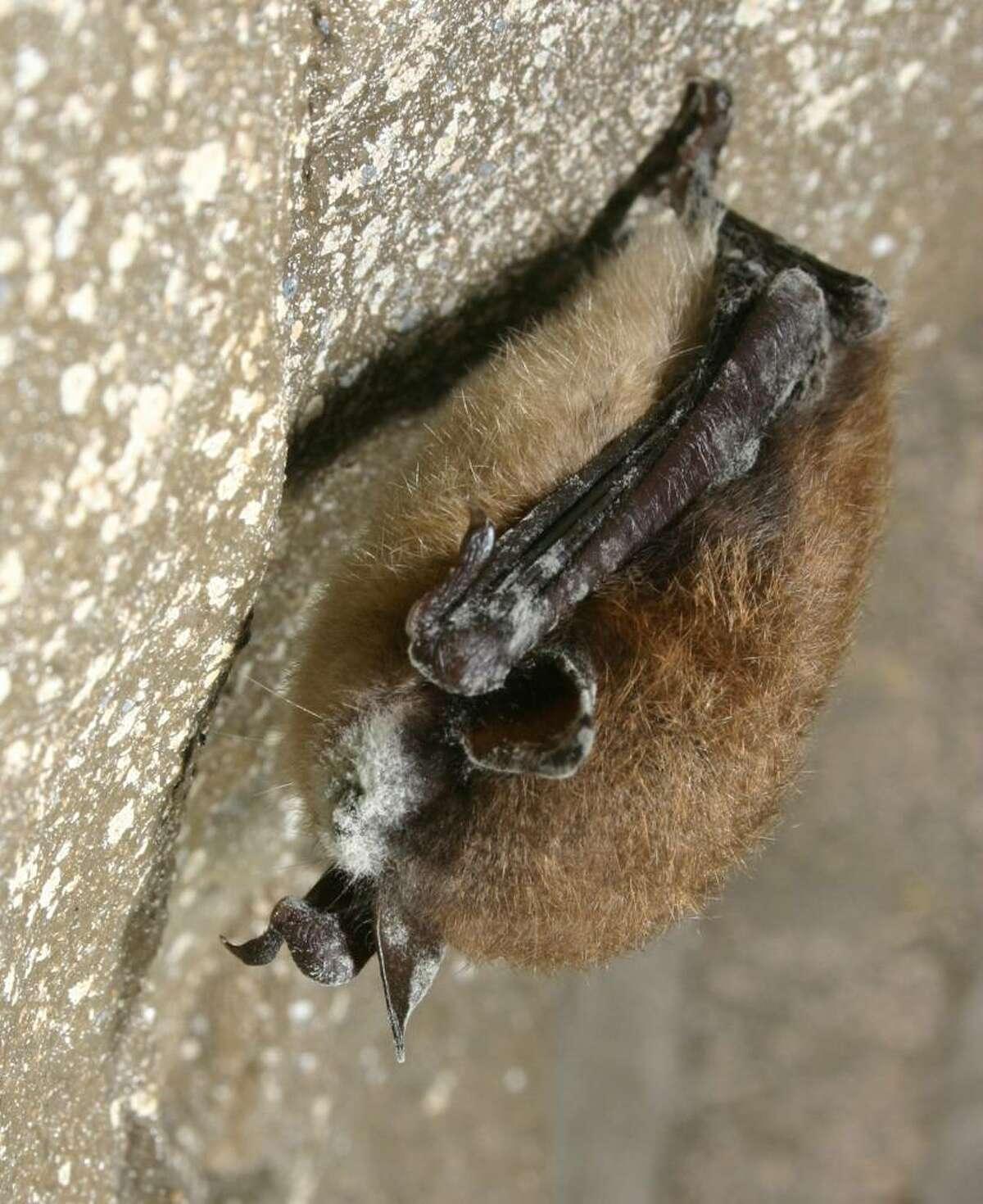 Sick bats White Nose Syndrom. (Courtesy NYS DEC)