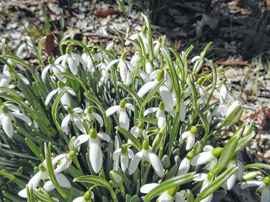 Flowers known as snowdrops spring forth around Washington Park in Springfield.