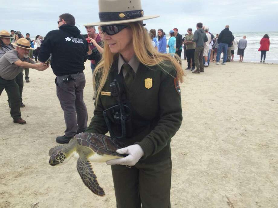 Dr. Donna Shaver, chief of the Division of Sea Turtle Science and Recovery at the Padre Island National Seashore, carries one of 12 green sea turtles that were released back into the surf Friday. They were among more than 1,000 turtles that suffered from hypothermia this winter that were nursed back to health by the Texas State Aquarium Rescue and Recovery Center. Photo: Terry Scott Bertling /San Antonio Express-News