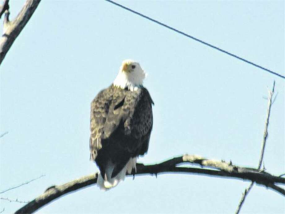An eagle sits on the branch of a tree northeast of Scottville.
