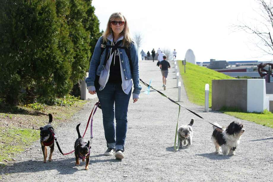 Kelly Hehman, who has been a dog walker for 30 years, strolls through the Olympic Sculpture Park with four pooches, Monday, March 12, 2018. Temperatures will reach the high 60s, Monday afternoon but return to rain Tuesday. Photo: GENNA MARTIN, SEATTLEPI.COM / SEATTLEPI.COM