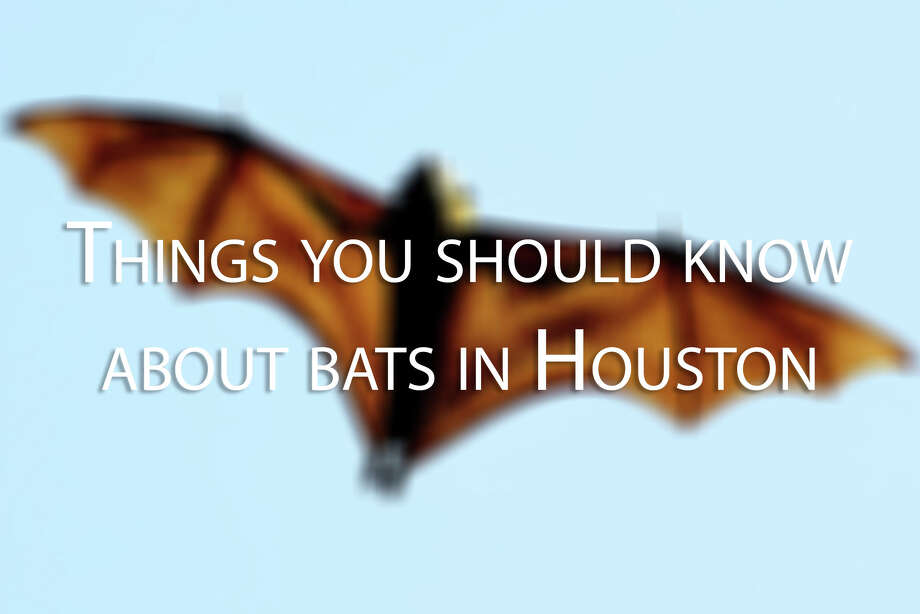 PHOTOS: Things to know about batsA bat tested positive for rabies in Pasadena, but most Houston-area bats are not dangerous. >>>Important facts about bats... Photo: GREG WOOD/AFP/Getty Images